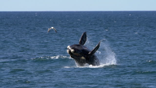 stockvideo's en b-roll-footage met southern right whale is breaching, slow motion - walvis