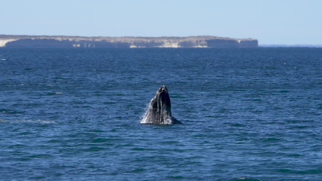 Southern right whale is breaching, slow motion