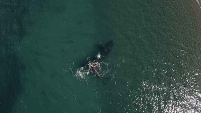 southern right whale mother and calf, aerial view rising move - southern right whale stock videos & royalty-free footage