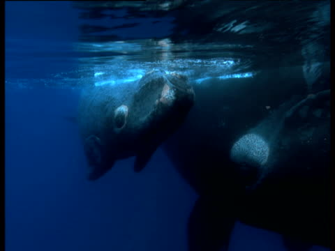 southern right whale mother and calf, valdes peninsula - southern right whale stock videos & royalty-free footage