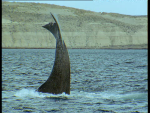Southern right whale slams flukes on water surface, Patagonia