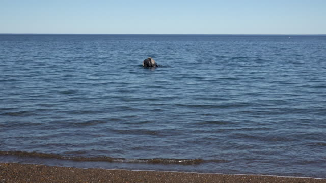 southern right whale sticking head out of the water, very close - southern right whale stock videos & royalty-free footage