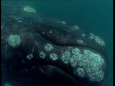 Southern right whale surfaces, Patagonia