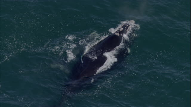 A southern right whale surfaces with her calf. Available in HD.