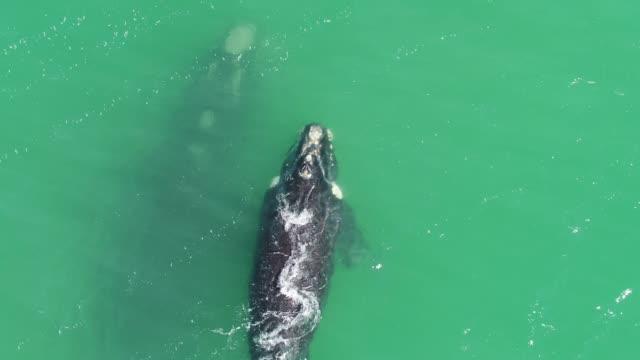 これは、母と一緒に水泳ミナミセミクジラ - 浮き上がる点の映像素材/bロール