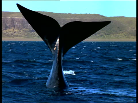 southern right whale tail sailing, valdes peninsula - tail stock videos & royalty-free footage