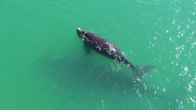 southern right whale - rare stock videos & royalty-free footage