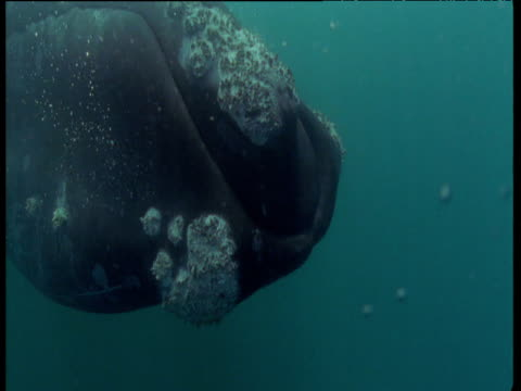 Southern right whale's head as it surfaces in sea, then dives underwater, Patagonia