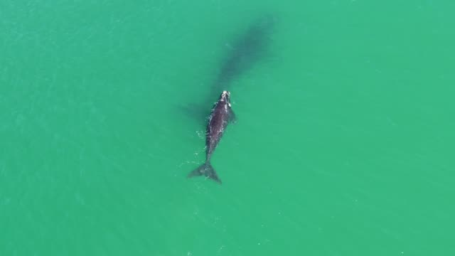southern right whales playing in false bay, cape town - southern right whale stock videos & royalty-free footage