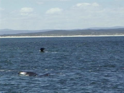 Southern Right Whales x2 MS flukes raised out of water then go back under