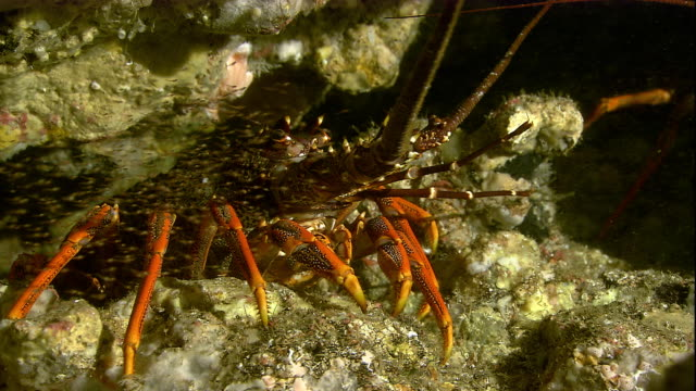 a southern rock lobster crawls in a crevice on the seafloor. available in hd. - lobster stock videos & royalty-free footage