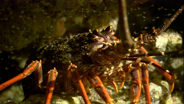 a southern rock lobster crawls on the seafloor. available in hd. - lobster stock videos & royalty-free footage
