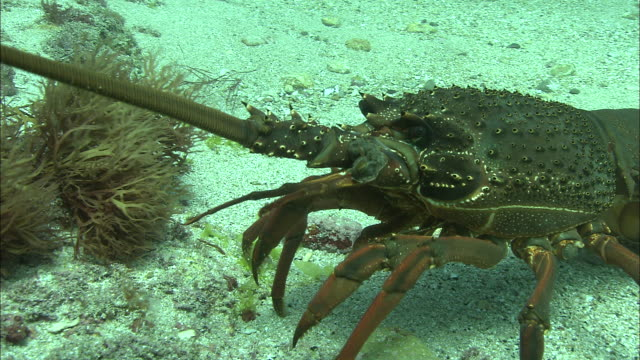 southern rock lobster (jasus edwardsii) on sea floor, poor knights islands, new zealand - lobster stock videos and b-roll footage