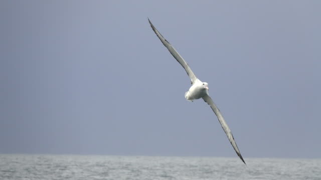 southern royal albatross flies over drake passage off antarctic peninsula - drake passage stock videos and b-roll footage