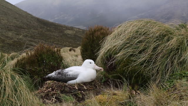 Southern Royal Albatross, nesting at Campbell Island