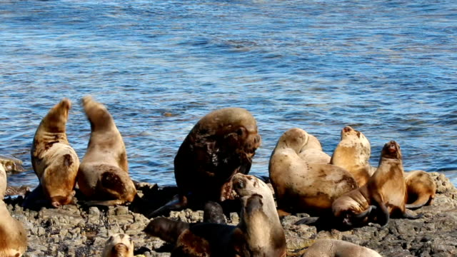 Southern Sea Lion group (Otaria flavescens)