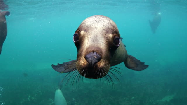 southern sea lion looking straight as the camera, nuevo gulf, valdes peninsula, argentina. - seal animal stock videos & royalty-free footage