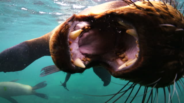 southern sea lion looking straight as the camera opens it's mouth, nuevo gulf, valdes peninsula, argentina. - animal mouth stock videos & royalty-free footage