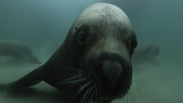 vidéos et rushes de southern sea lion peers into and bites at camera - phoque