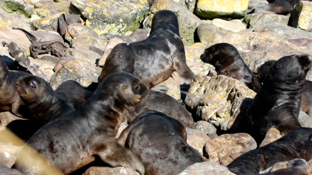 southern sea lion pups in creche (otaria flavescens) - atlantic islands stock videos & royalty-free footage
