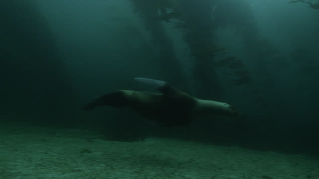 southern sea lion swims amongst kelp forest - atlantic islands stock videos & royalty-free footage