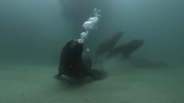 southern sea lions swim and blow bubbles, falkland islands - kleine gruppe von tieren stock-videos und b-roll-filmmaterial