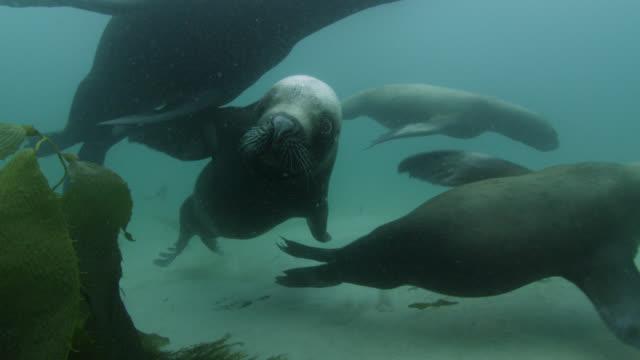 southern sea lions swim in sea, falkland islands - sea lion stock videos & royalty-free footage