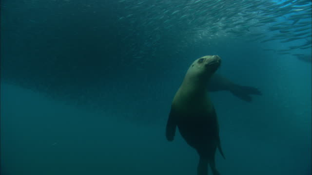 southern sealions (otaria flavescens) hunt anchovy (engraulidae) bait ball, patagonia, argentina - seals stock videos and b-roll footage