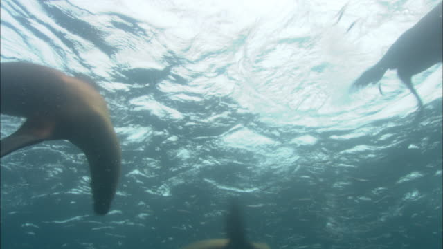 Southern sealions (Otaria flavescens) hunt swirling anchovy (Engraulidae) bait ball, Patagonia, Argentina