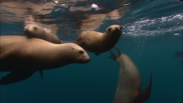 southern sealions (otaria flavescens) swim in ocean, patagonia, argentina - audio available stock videos & royalty-free footage