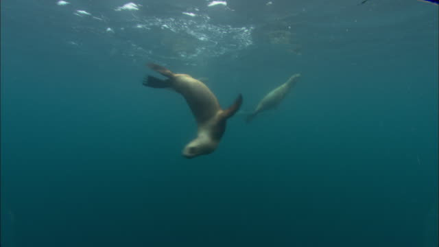 southern sealions (otaria flavescens) swim in ocean, patagonia, argentina - sea lion stock videos & royalty-free footage