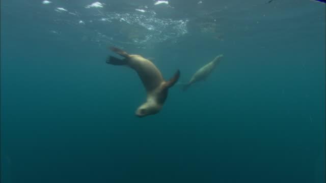 Southern sealions (Otaria flavescens) swim in ocean, Patagonia, Argentina