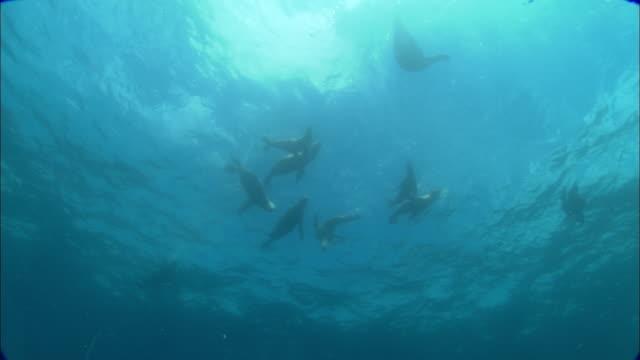 southern sealions (otaria flavescens) swim in ocean, patagonia, argentina - アザラシ点の映像素材/bロール