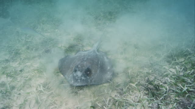 southern stingray hunting and feeding - southern stingray stock videos and b-roll footage