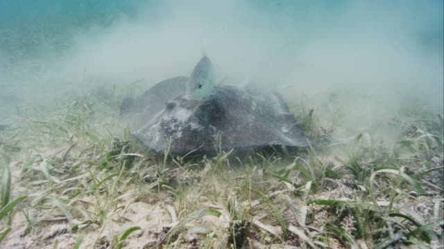 southern stingray hunting and feeding - stingray stock videos and b-roll footage