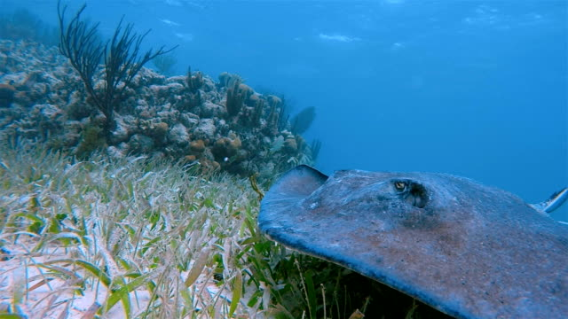 southern stingray ( dasyatis americana ) in caribbean sea - belize barrier reef / ambergris caye - caribbean sea stock videos & royalty-free footage