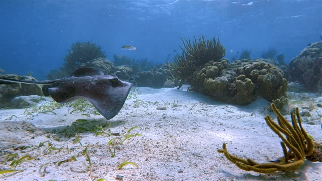 southern stingray ( dasyatis americana ) in caribbean sea - belize barrier reef / ambergris caye - sea grass plant stock videos & royalty-free footage