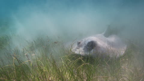 stockvideo's en b-roll-footage met southern stingray in slow motion - sea grass plant