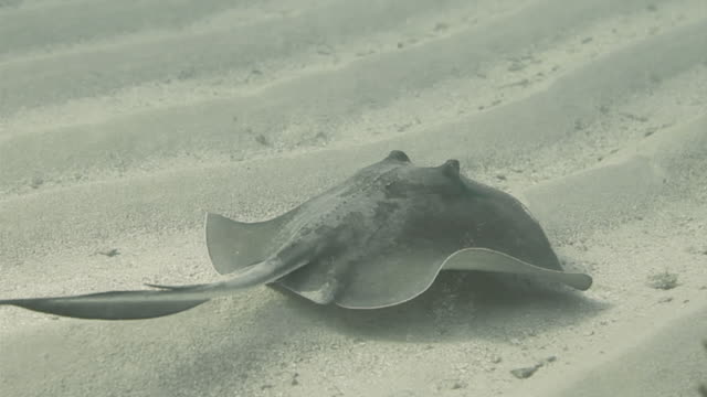 southern stingray swimming on sea floor at honduras bay islands - southern stingray stock videos and b-roll footage