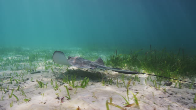 southern stingray - sea grass plant video stock e b–roll