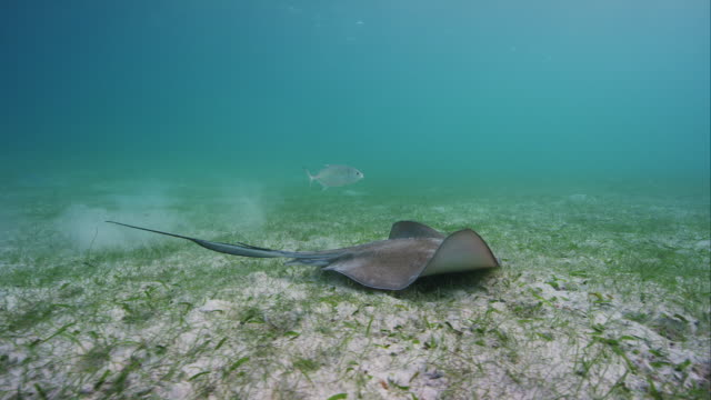 southern stingray - southern stingray stock videos and b-roll footage