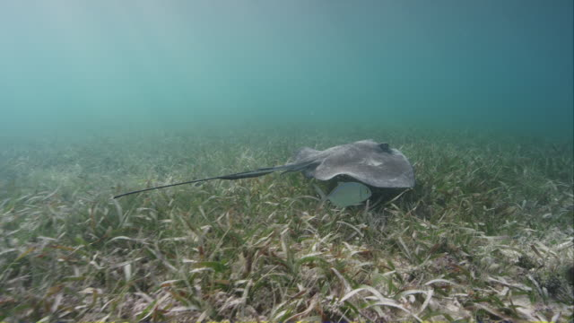 southern stingray - stingray stock videos and b-roll footage