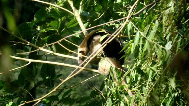 southern tamandua, also called the collared anteater or lesser anteater