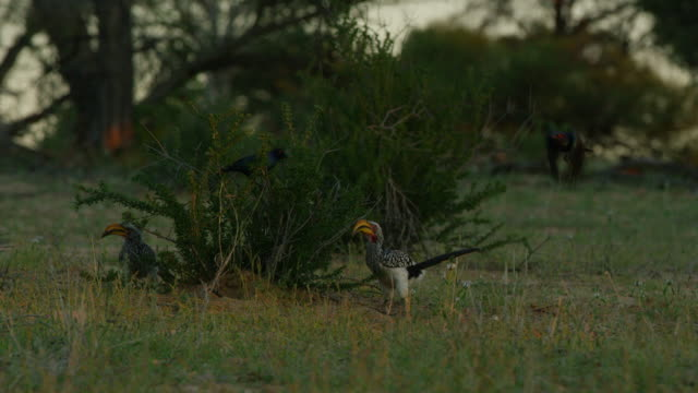 southern yellow billed hornbills foraging by bush with fork-tailed drongos - piccolo gruppo di animali video stock e b–roll