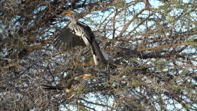 Southern yellow-billed hornbill takes off from branch of Acacia tree, Kruger National Park, South Africa