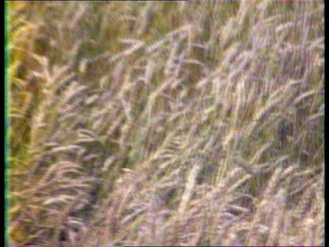 stockvideo's en b-roll-footage met russia harvesters in field grain harvest pm nikolai ryzhkov visiting area speaking to press corn field farmers preparing equipment yevgeny gorbartov... - politieke partij