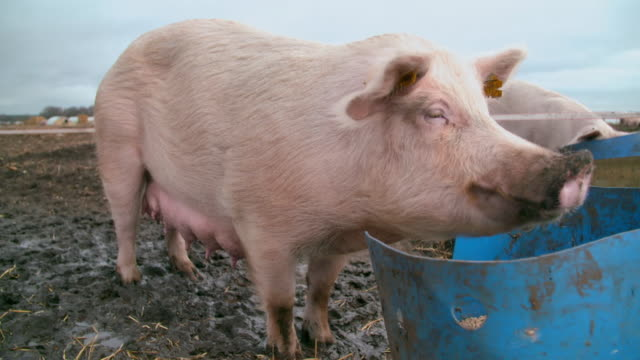 sow eats pellets on pig farm - pig stock videos & royalty-free footage