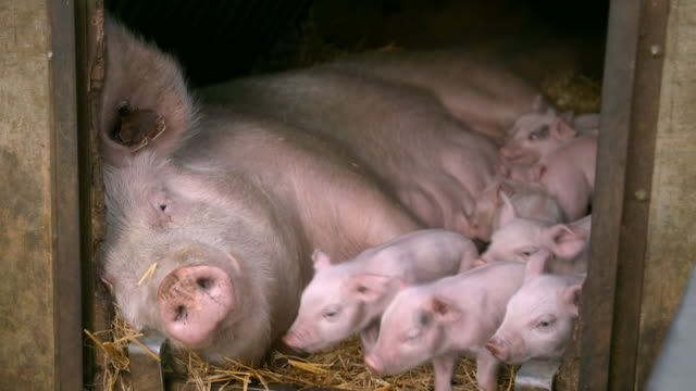 sow with piglets in pig pen - pig stock videos & royalty-free footage