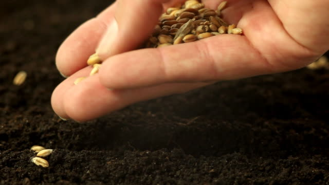 stockvideo's en b-roll-footage met sowing wheat - zaad