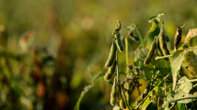 soy beans in the field - soya bean stock videos & royalty-free footage